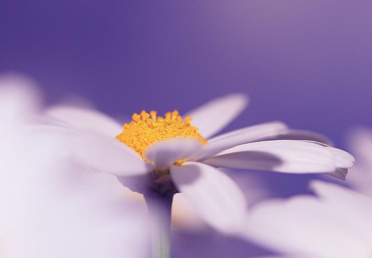 flor, flor, flor, planta, tancar, macro, natura