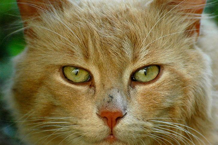 pisica, feline, ochi de pisica, animale, pisica fata, portret de pisică, portret de pisica