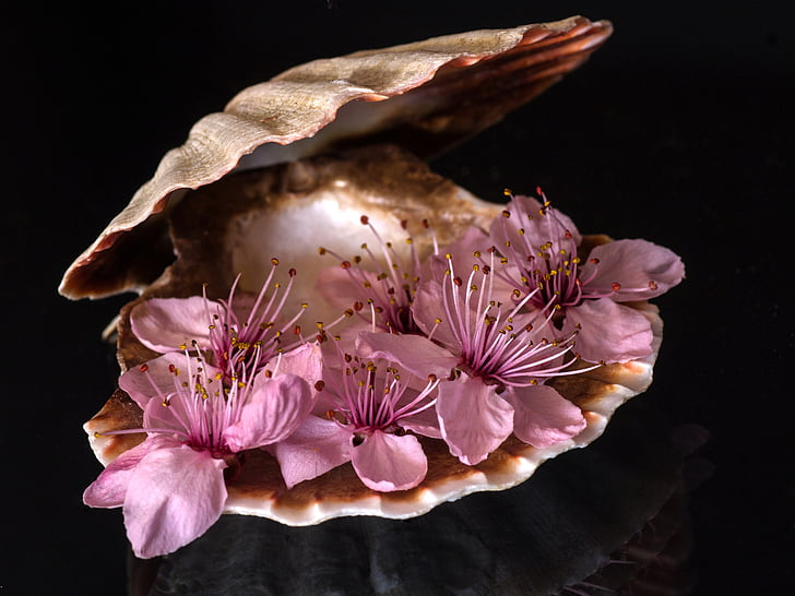 still life, shell, close up, blossom, bloom, black background, sea life