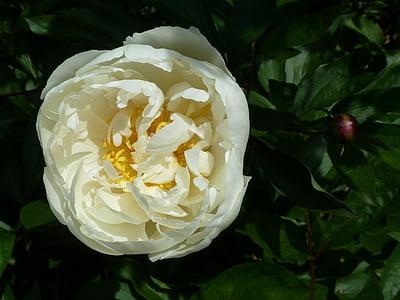 Gül, yakın çekim, çiçek, Beyaz, doğa, Yaz, Görünümü kapatın