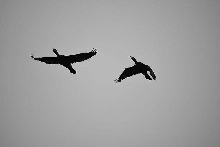 птици, полет, корморани, природата, небе, животните, Dom