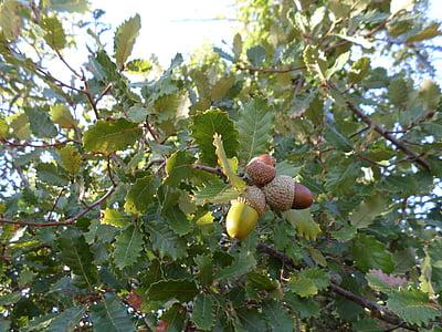 acorns, tree, field