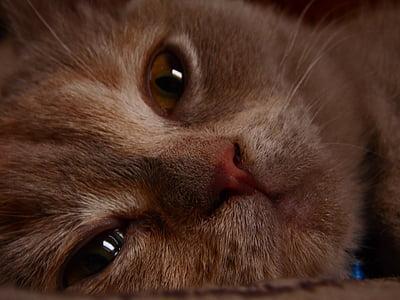 cat, closeup, little kitty, kitten, lilac, briton, animal