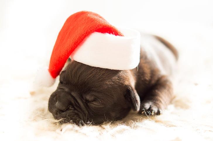 inglise buldog, jõulud, koer, kutsikas, Xmas
