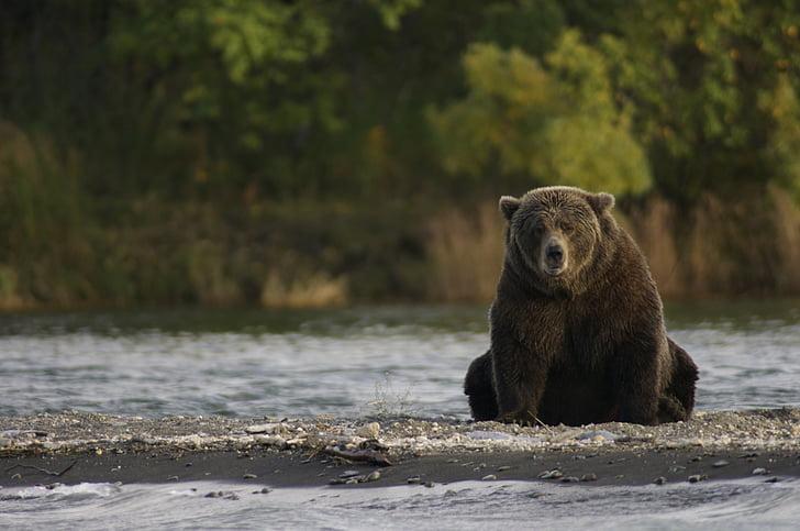 ós, assegut, vida silvestre, natura, rierols riu, Parc Nacional de Katmai i reserva, Alaska