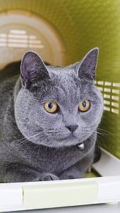 cat mia, blue cat's, rest, pet