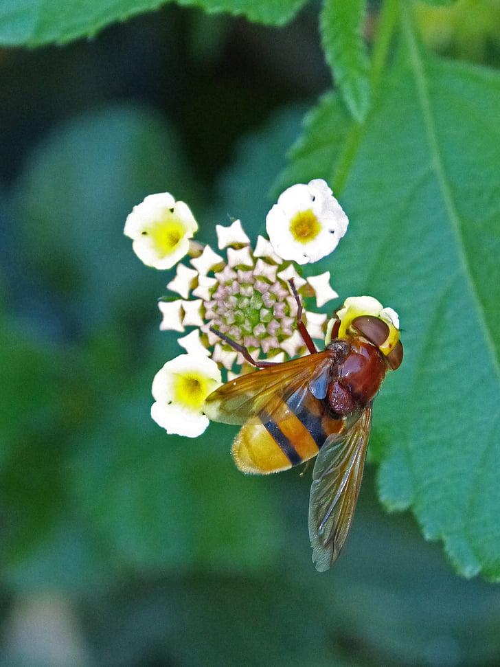 insecte, sírfid, sirphidae, dípters, mosca que imita una abella, Volucella inanis, Vespa fals