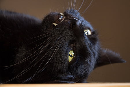 cat, black, domestic cat, black cat, tooth, animal, mammal