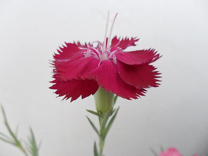 clove, flower, œillet, plant