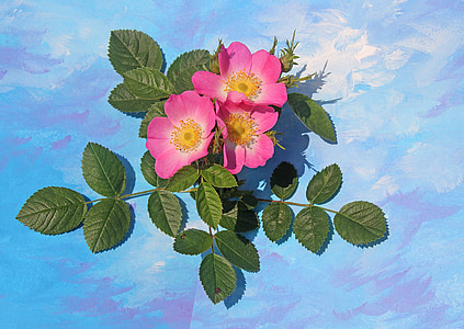 花, 野玫瑰, 植物, 开花, 绽放, 上升, 蔷薇科