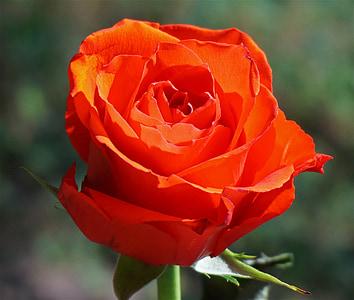 Πορτοκαλής αυξήθηκε, τριαντάφυλλο, λουλούδι, άνθος, άνθιση, φύση, Κήπος