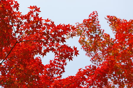 το φθινόπωρο, φθινοπωρινά φύλλα, πτώση, φύλλωμα, φύλλα σφενδάμου, φύση, δέντρα