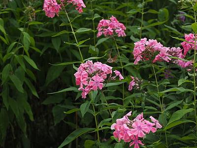 hummingbird hawk moth, macroglossum stellatarum, dove tail, carp tail, butterfly, moth, owls