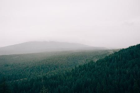 lasu, mgła, mglisty, drzewa, zielony, pól, szary