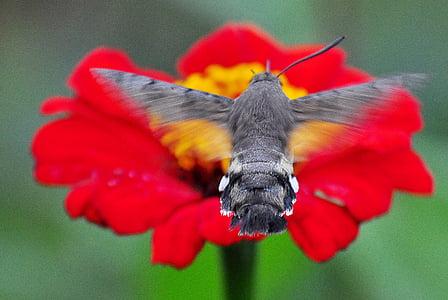hmyz, můra, Kolibřík jestřáb fialová, červená, jedno zvíře, detail, zvířecí motivy