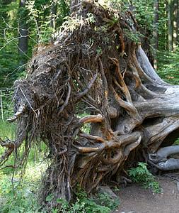 koren, korenina, potegnil ven, razburjen, Bavarski gozd