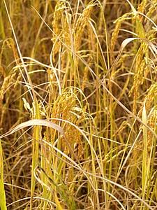 põllumajandus, Aasia, Sügis, botaanika, teravilja, teravilja taim, põllukultuuride