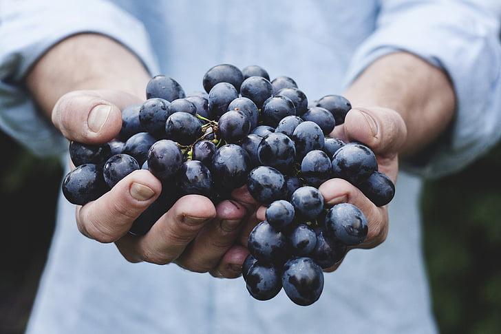 vīnogas, saišķī, augļi, persona, saimniecība, ražas, Nogatavojies