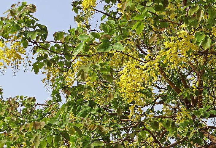 Cassia fistulu, Golden shower tree, amaltas, ziedi, dzeltena, FABACEAE, Indija