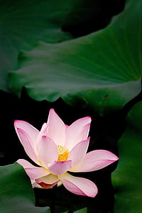 beautiful lotus, flower, good flower needs green leaves, bloom season, water Lily, nature, lotus Water Lily