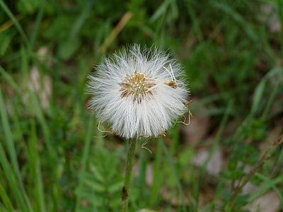 lill, taim, võilill, suvel, loodus, Aed, botaanika