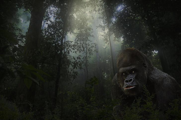 gorilla, silver back, animal, mammal, wildlife, endangered, powerful