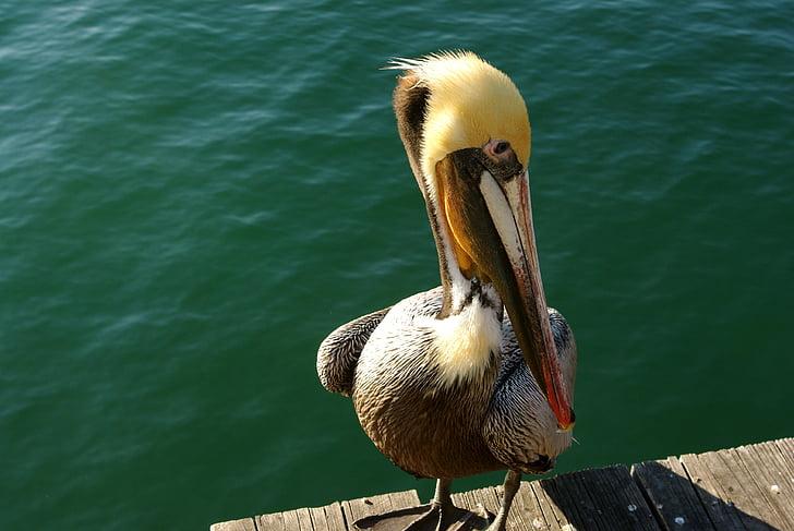 pelican, bird, water, beak, animal