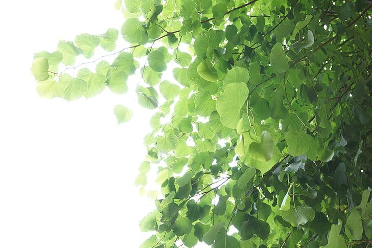 fulles, verd, llum, fulla, arbre, torna la llum