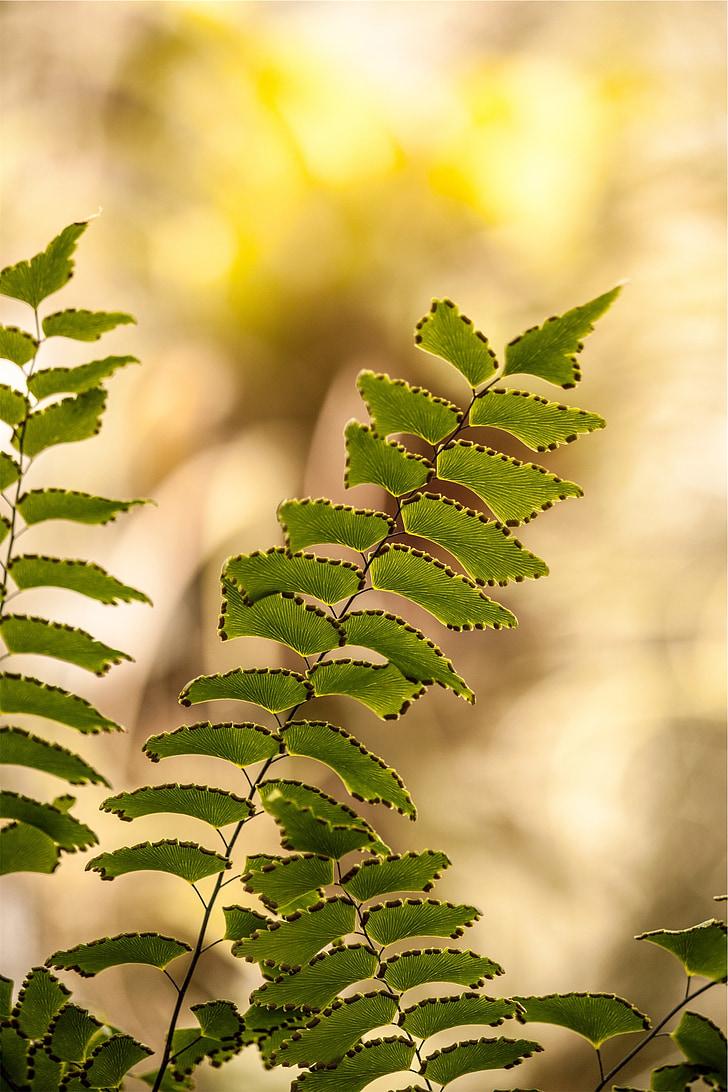 rastliny, listy, papraď, Leaf, Príroda, Zelená, prírodné