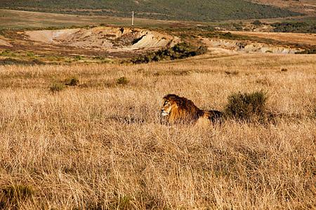 lion, safari, africa, cat, lion's mane, nature, fur