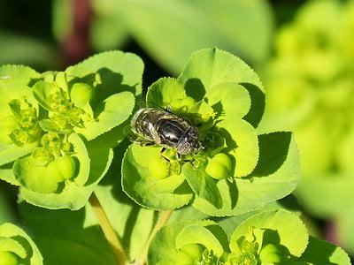 l'abella Pixelated ulls, sírfid, flor, Libar, compostos d'ulls, Volucella inanis, insecte