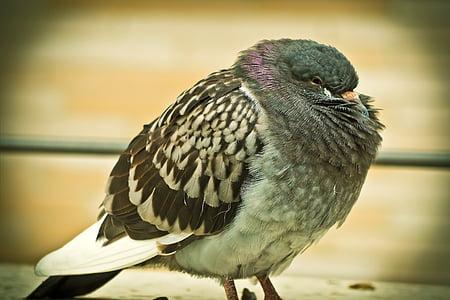 Dove, zviera, vták, Príroda, stojace, perie, golier