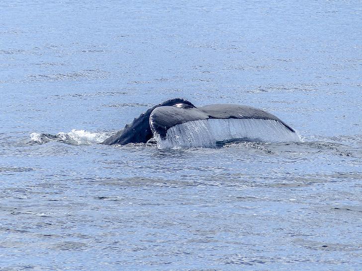 Горбатый кит, хвостовой плавник, Природные зрелище, Природа, млекопитающее, животное, Дикая природа