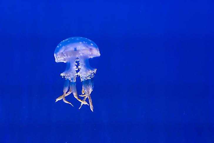 akvárium, modrá, exotické, medúzy, morský život, škvrnitý, plávanie