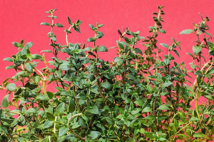 θυμάρι, βότανα, αρτυματικά φυτά, κουζίνα βότανο, μάγειρας, βότανο, Κήπος