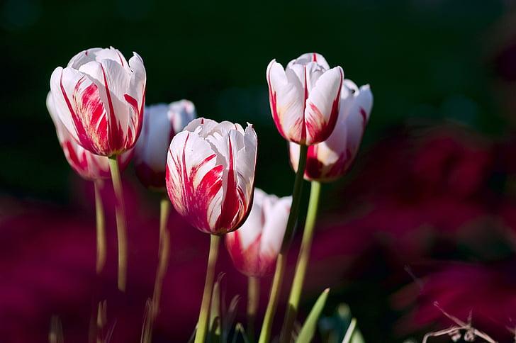 лалета, Градина, цветя, цвят, Пролет, природата, лале
