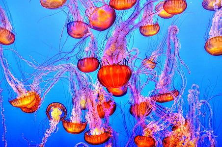 Meduza, šarene, more, oceana, vode, pod vodom, akvarij