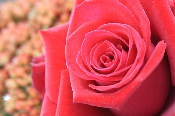Hoa, màu đỏ, vĩ mô, Hoa hồng, Hoa hồng, Thiên nhiên, Rose - Hoa