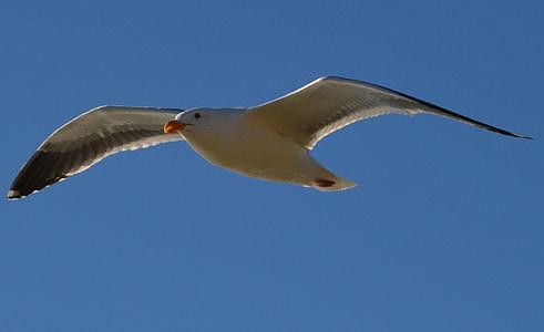 Gavina, volant, Gavina, vol, natura, ocell, ales