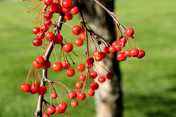 взимку, падіння, Осінь, ягоди, червоні ягоди, сезон, сезонний