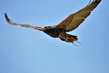 сивия мишелов орел, орел, птица, дива природа, природата, диви, мишелов