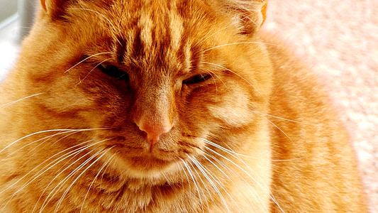 red cat, cat, animal, feline, cat's eye, cat face