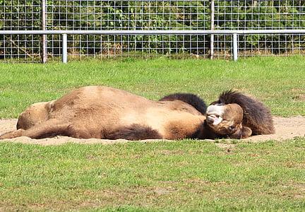 camell, dormint, estirat, relaxació, resta, migdiada, cansat