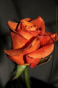 Rosa, flor, flor, flor, planta, flors roses, natura