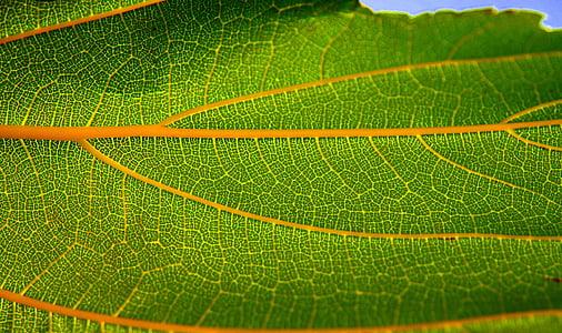 yaprak, yapısı, Yeşil, sonbahar yaprak, Yaz yaprak, doğa, doğal