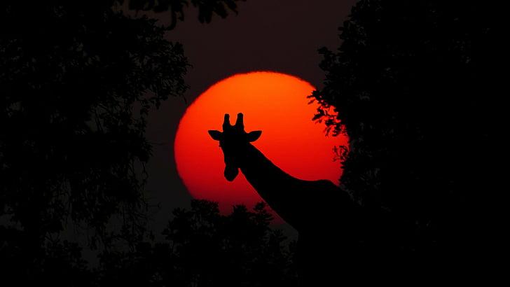 жираф, животните, Африка, залез, природата, пустинята, сафари