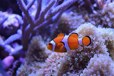 zivis, jūras ūdens, Clown fish, ūdens, jūra, okeāns, daba