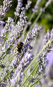 lavender blossom, lavender, lavender flowers, pollination, bee, insect, purple