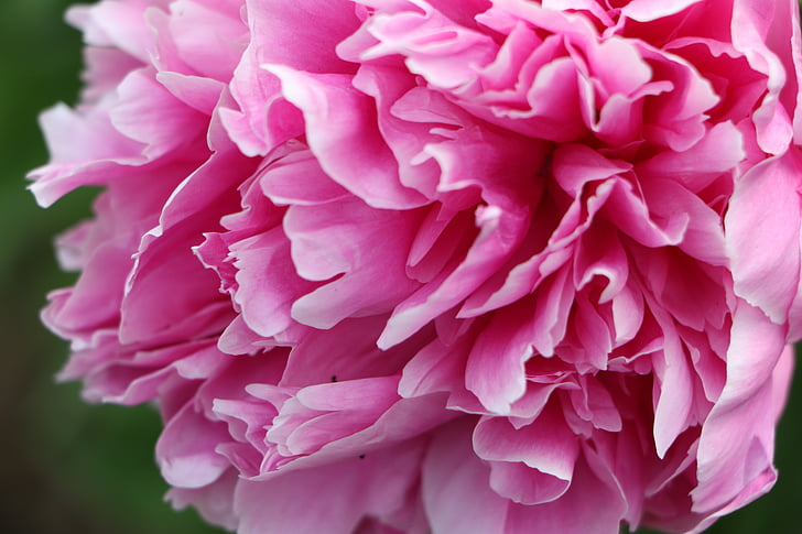 chinese herbaceous peony, flower, pink