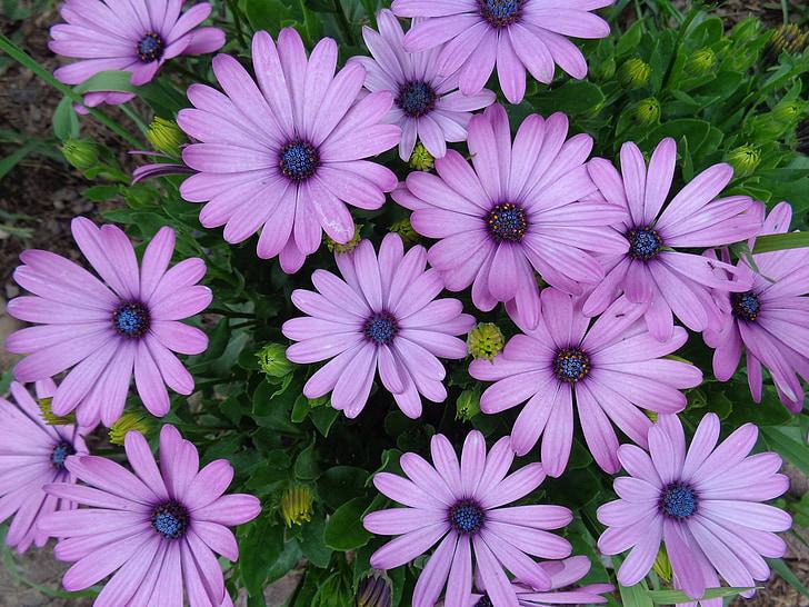 Margarida, porpra, flors, flor